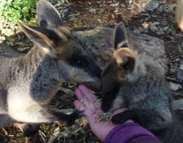 Feeding wallabies at Featherdale, Anna J - August 2009