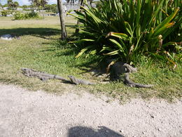 Photo of Cancun Viator Exclusive: Early Access to Tulum Ruins with an Archeologist Iguanas