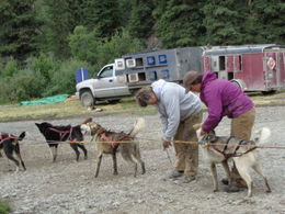 Sled dogs being harnessed for demo , Geoffrey A - July 2015