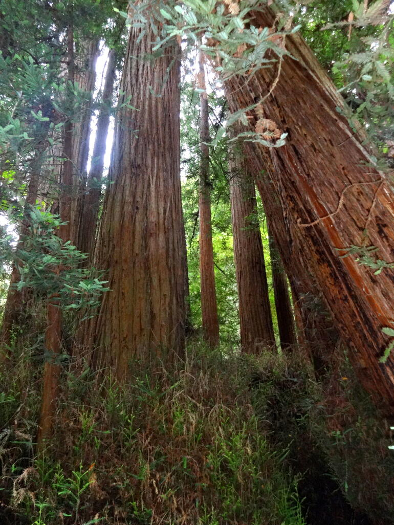 Muir Woods - San Francisco