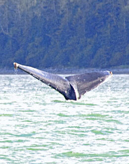 From boat on whale watching tour , Peter S - September 2014