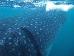 Photo of Cancun Mexican Whale Shark Snorkel Adventure behind the eyes of a Whale Shark