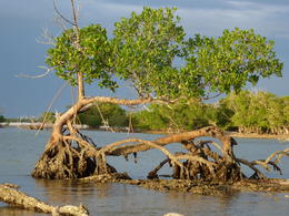 Lots of mangrove like tree root craziness going on in the Everglades., kellythepea - May 2014