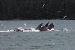 Photo of Juneau Juneau Whale Watching Adventure and Mendenhall Glacier Tour Humpbacks - July 22, 2009