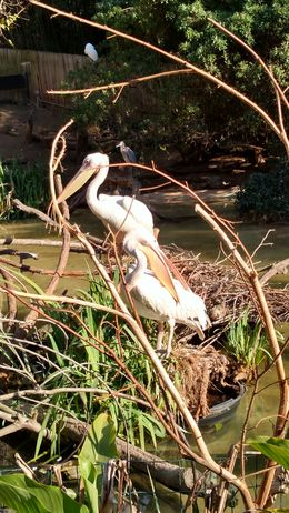 Two pelicans just hanging out with their flappy mouths, Josh - February 2015