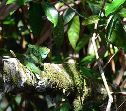 Photo of San Jose Tortuguero National Park Jesus Christ lizard