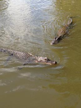 Photo of New Orleans Small-Group Bayou Airboat Ride with Transport from New Orleans 2 Gators