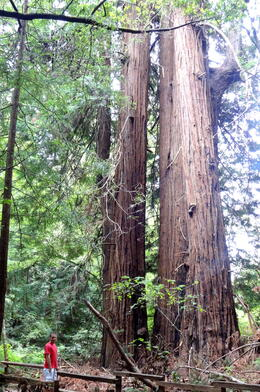 Photo of San Francisco San Francisco Super Saver: Muir Woods and Wine Country Tour Giant Trees