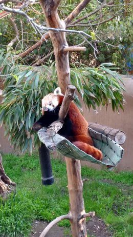 The cutest red panda in existence, Josh - February 2015