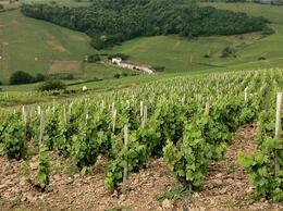 Photo of   The Fields of a Beaujolais Winery