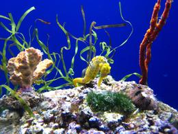 Seahorse and sea plants on display at the California Academy of Sciences, SF - November 2009