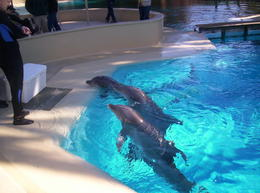 Dolphin Habitat at the Mirage , Sarah S - December 2011