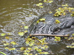 Photo of New Orleans Swamp and Bayou Sightseeing Tour with Boat Ride from New Orleans Gator!