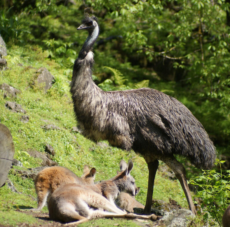 Kangaroos and Emu at Auckland Zoo - Auckland