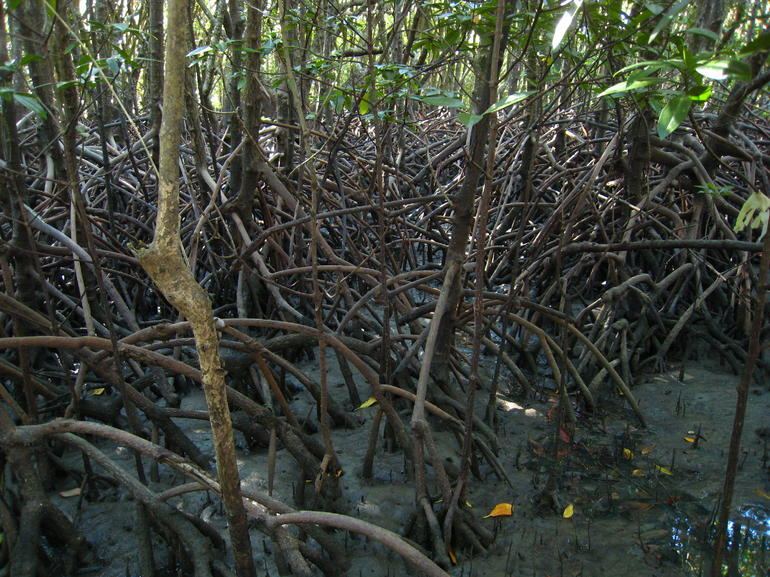 Mangrove walk - Cairns & the Tropical North