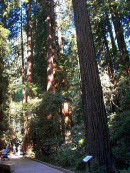 Redwoods , Phyllis P - September 2012