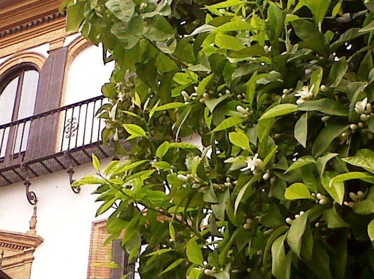Orange tree blossom - Seville