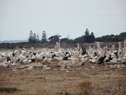 some of the pelicans on penguin island , Kerri S - April 2016