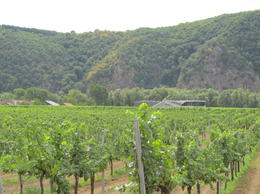 Wine rows along the bike path. You can reach out and touch the grapes. , Robin M - August 2012