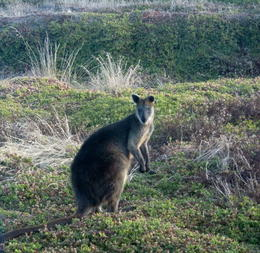 Saw lots of swamp wallabies bounding around , Chris S - March 2013