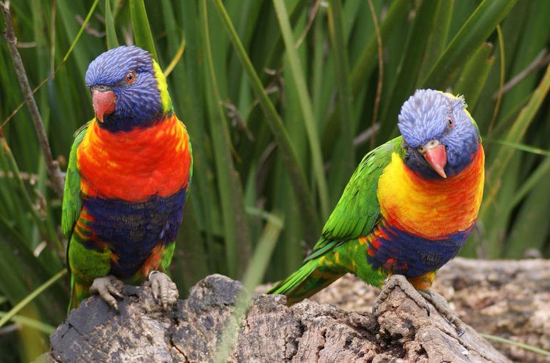Rainbow Lorikeet at Auckland Zoo - Auckland