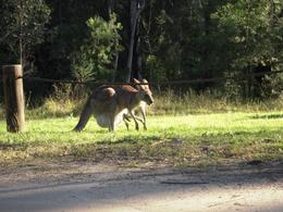 We encountered this grazing kangaroo family, complete with mother and pouched joey. - June 2009
