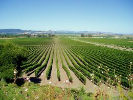 Photo of Napa & Sonoma Customizable Wine Country Tour from San Francisco rows of grapes