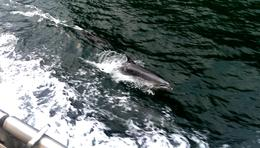 Photo of Fiordland & Milford Sound Milford Sound Mariner Overnight Cruise from Te Anau Dolphins swimming alongside.