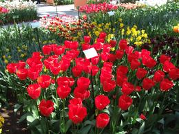 Photo of Amsterdam Keukenhof Gardens and Tulip Fields Tour from Amsterdam Vivid red extra large tulips at Keukonhof