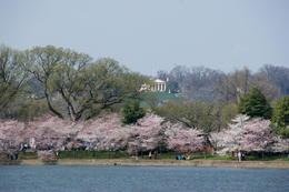 Photo of Washington DC Washington DC Hop-on Hop-off Trolley Tour Cherry Blossoms on the Tidal Basin looking toward the home of Robert Lee.