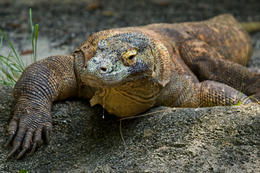 Komodo Dragon (zoom shot) at the Singapore Zoo - May 2011