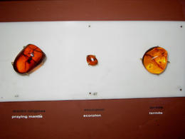 Photo of   Praying Mantis, Scorpion and Termite in amber at Amber Museum