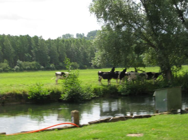 Cows - Paris