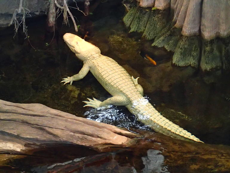 An Albino Alligator - San Francisco