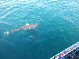 Photo of Cape Town Cage Diving with Great White Sharks from Cape Town Here it comes
