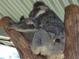 Photo of Sydney Sydney Taronga Zoo General Entry Ticket and Wild Australia Experience Mom & baby koalas