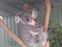 Photo of Sydney Blue Mountains Day Trip and River Cruise Momma and Baby Koala