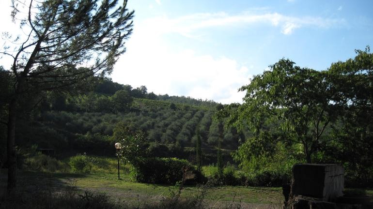 Olive trees and vineyard.