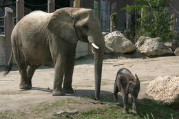 Photo of   Elephants, Tiergarten Schonbrunn Zoo, Vienna