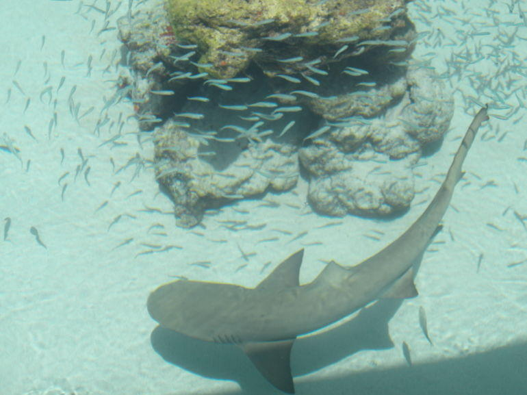 Shark at Coral World Ocean Park - St Thomas