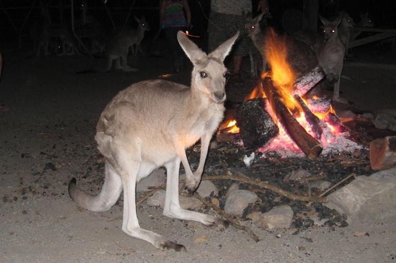 Kangaroo by the bush fire - Cairns & the Tropical North