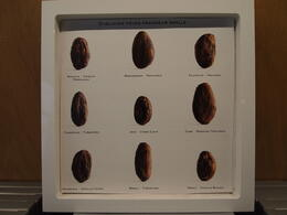 Learning about the origins of cacao beans, Rachel - March 2014