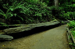 Fallen log which looked like petrified piece of wood, but was not quite according to our guide. , Ira F - July 2012
