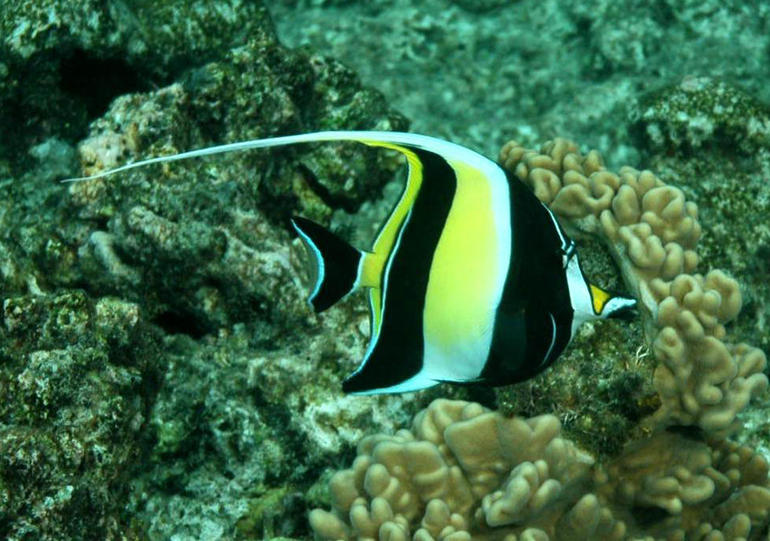 Angel fish - Cairns & the Tropical North