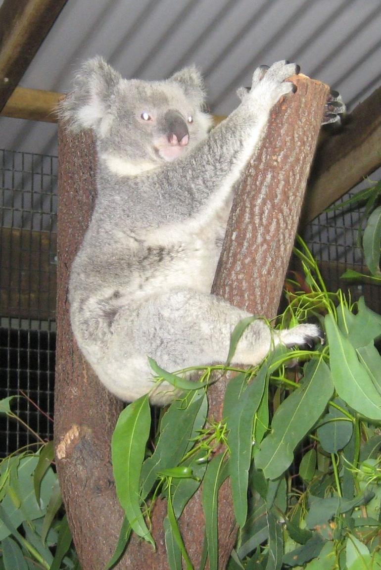 Koala, just hanging around - Cairns & the Tropical North