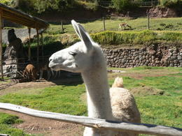 Photo of Cusco Sacred Valley, Pisac and Ollantaytambo Full-Day Tour from Cusco Llam