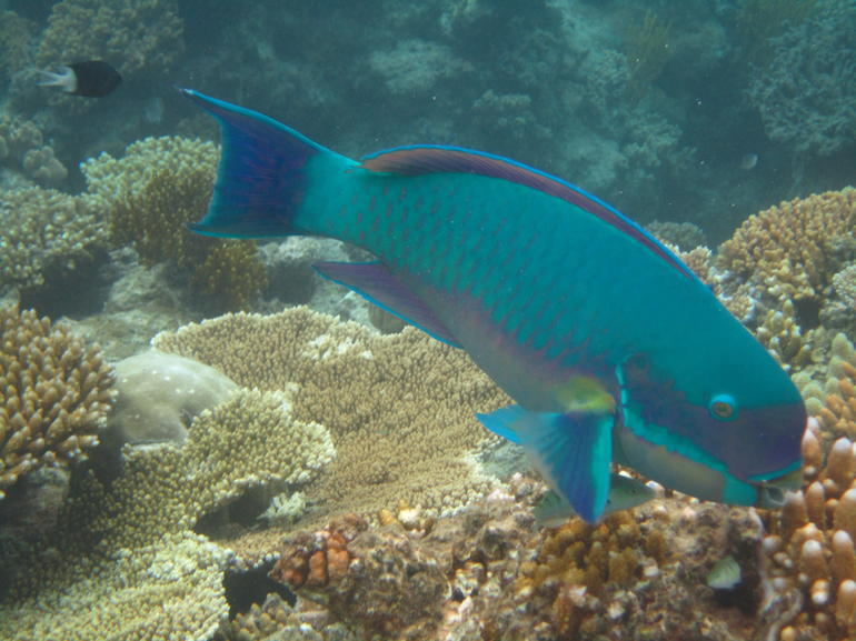 Parrot Fish - Cairns & the Tropical North