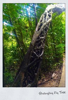 Interesting tree where the host tree is strangled and these shapes are the results. This was on the extra rain forest walk we had. , Brazzie - June 2016