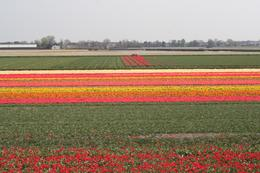 Photo of Amsterdam Keukenhof Gardens and Tulip Fields Tour from Amsterdam Tulip Flowerfields