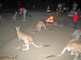There were at least 30 kangaroos around for us to pet at the Cairns Night Zoo., Jodie A - October 2007
